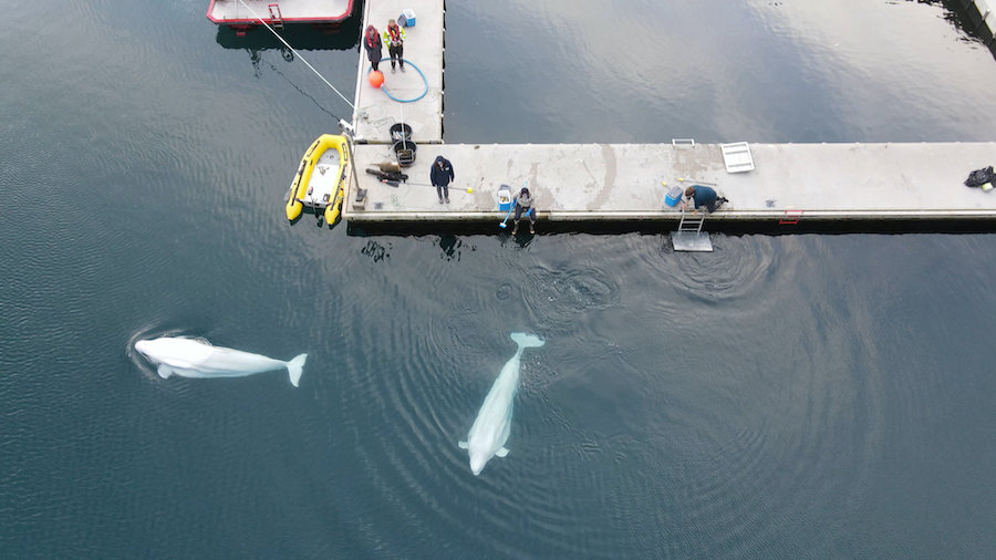 Little White and Little Grey take first swim at beluga whale sanctuary in Iceland