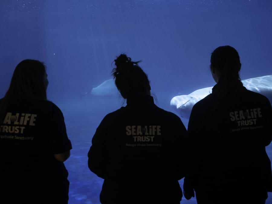 Sea life trust team with belugas