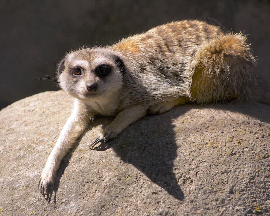 Meerkat Kansas City Zoo