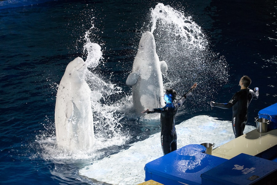 performing beluga whales before transfer to sanctuary