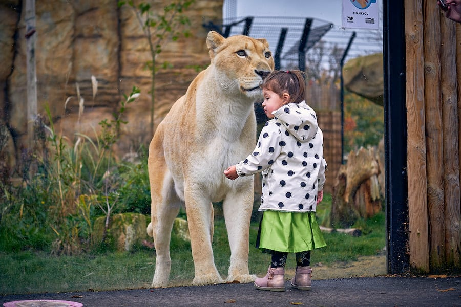 young visitor with lion Paradise Wildlife Park