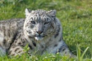 Twycross-Zoo-Snow-Leopard