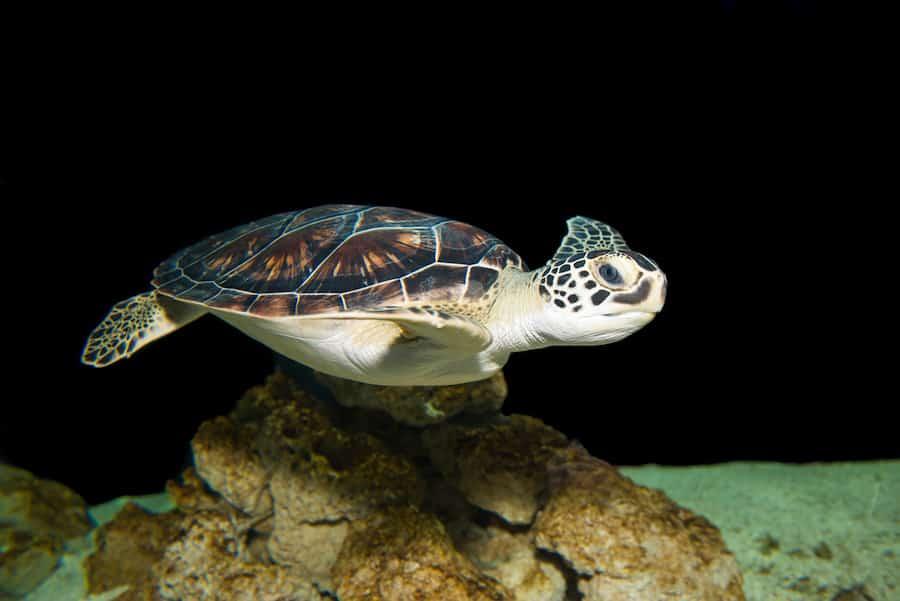 Common Green Turtle-Houston Zoo