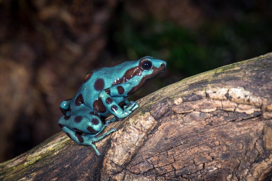 Poison-Dart-Frog-Houston-Zoo