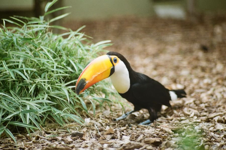 Toucan at Cologne Zoo