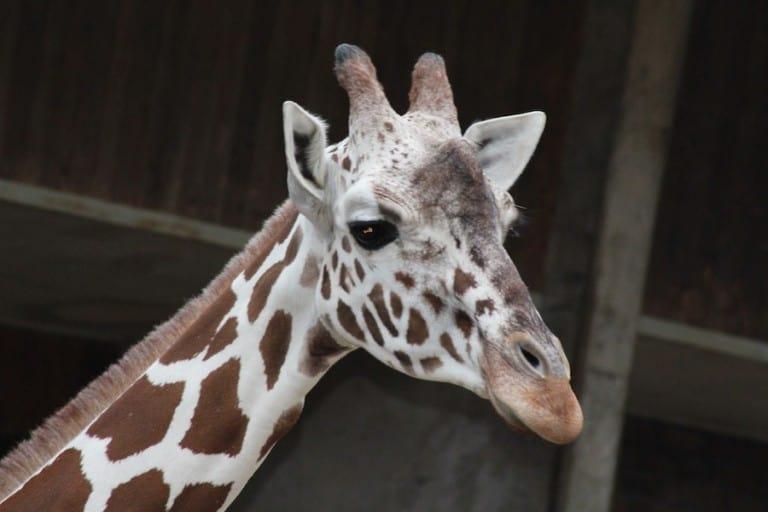 giraffe Cologne Zoo