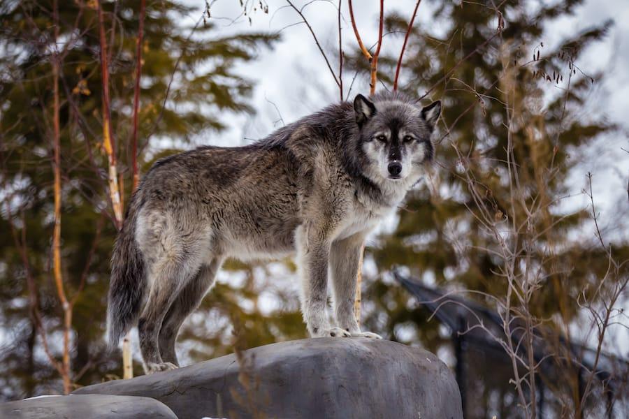 wolf at Assiniboine Park Zoo
