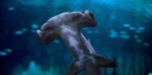 Hammerhead shark National Aquarium Abu Dhabi